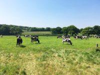 Westridge Farm dairy cows grazing in field